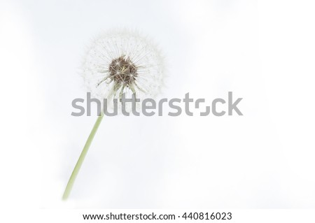 White dandelion isolated on the white background