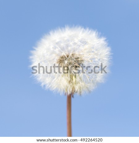White dandelion nature