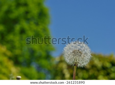 white dandelion on a background of  blue sky on a sunny day - stock photo