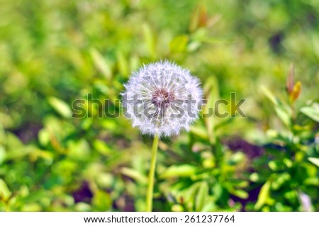 white dandelion on a background of green grass on a sunny day - stock photo