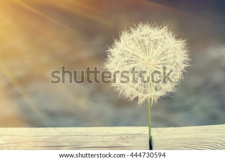 White dandelion with wooden logs on a blurred background, sunny. Toned - stock photo