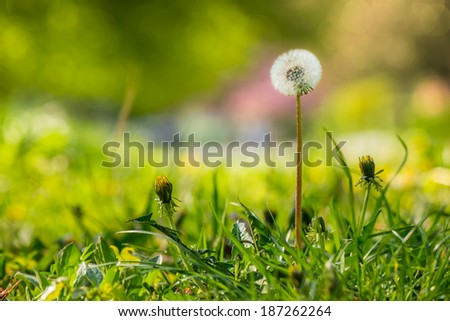 white dandelion yellow one on green grass blur background in park - stock photo