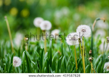 White dandelions on green meadow in spring/selective focus