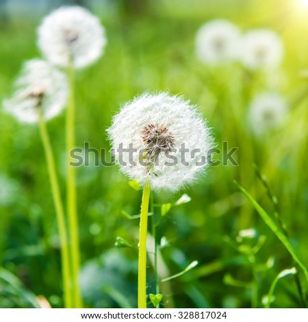 White dandelions on the green sunny lawn. Summer landscape. - stock photo