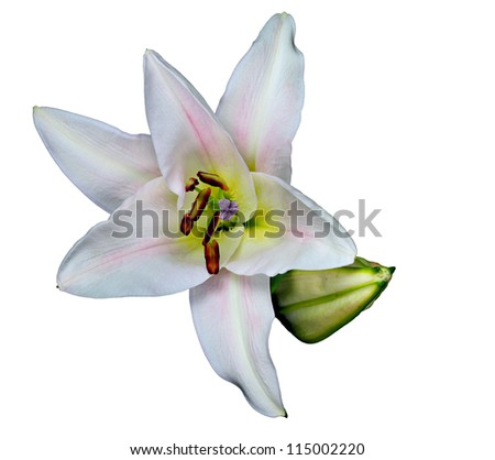 White daylily with bud isolated on white