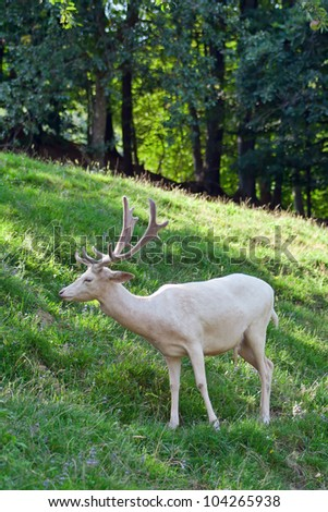 white deer - stock photo