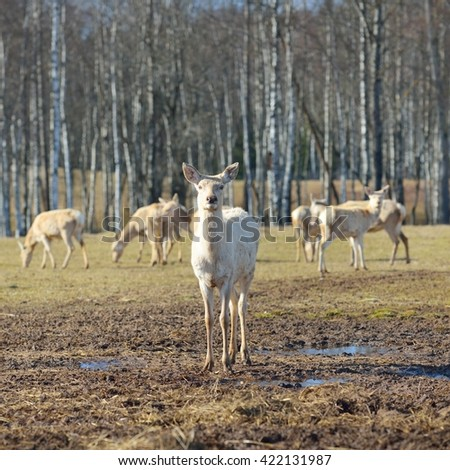White deer herd walking on a spring meadow