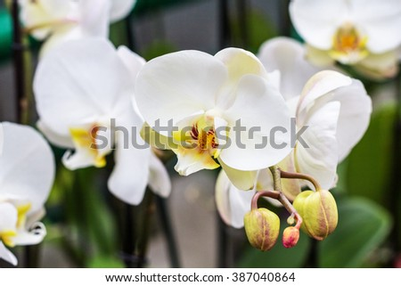 white delicate orchids in a green house
