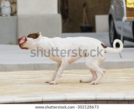 White dog caught mid shake with his lips flopping