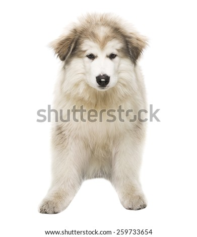 White Dog Husky Puppy, Whelp Isolated over White Background, Looking at Camera - stock photo