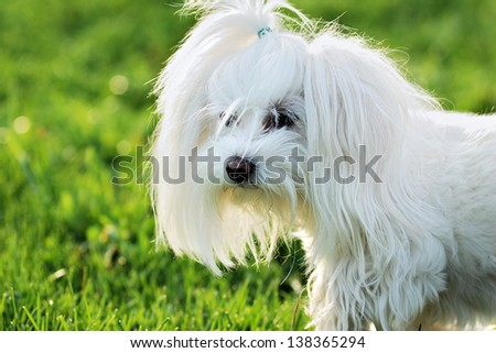 white dog in a meadow