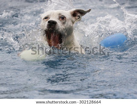 White dog in the pool getting ready to grab her ball - stock photo