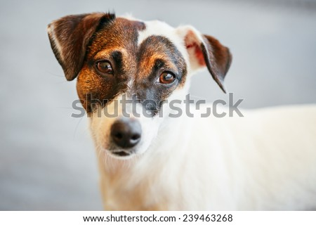 White Dog jack russel terrier on gray floor indoors - stock photo