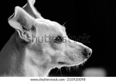 White dog mutt with a beautiful profile - stock photo