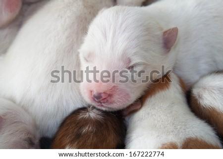 white dog newborn to sleep - stock photo