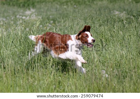 White dog of breed a springer spaniel with brown spots in a green grass. - stock photo