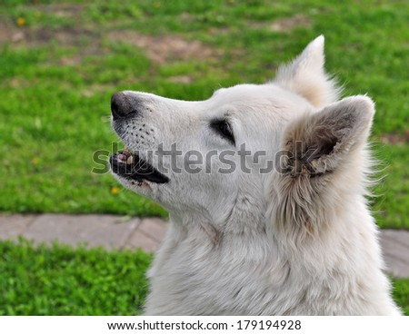 White dog on a green background and barks.