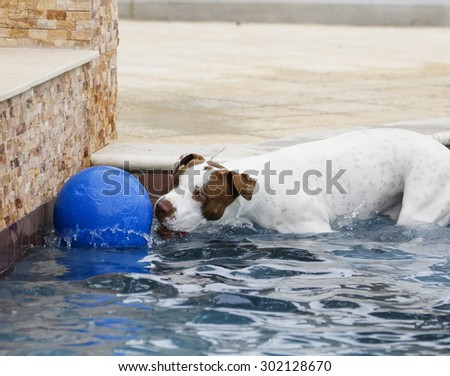 White dog playing with a jumbo ball in the pool - stock photo