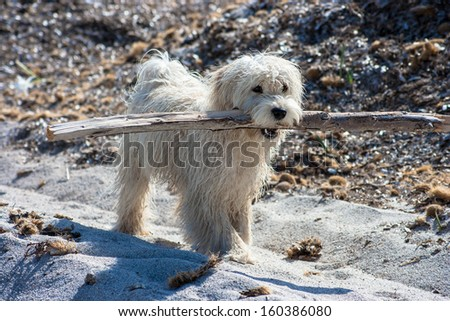 White dog playning with a big stick on the beach - stock photo