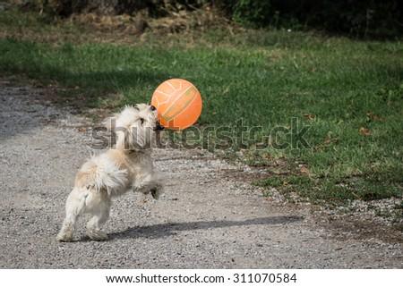 White dog plays with his orange ball - stock photo