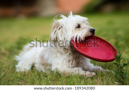 White dog  relax after playing frisbee in the garden - 2 - stock photo