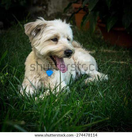 White dog relaxing in the garden - stock photo