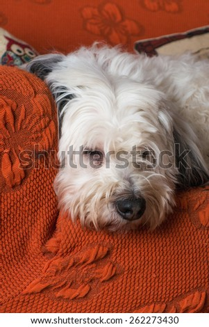 white dog resting on the couch - stock photo