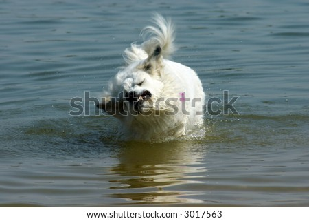 White Dog Shaking off in Water with motion blur