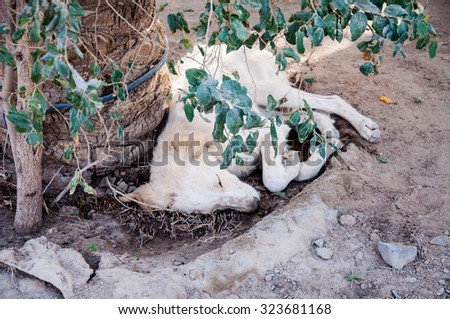 White dog sleeping under a tree in the desert
