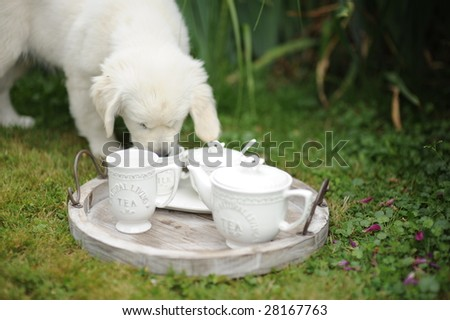 white dog smelling tray with cups - stock photo