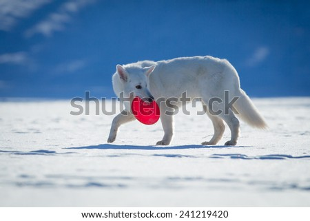 White dog walking on snow with frisbee in his mouth. - stock photo