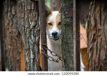 white dog with a red spot behind a wooden fence
