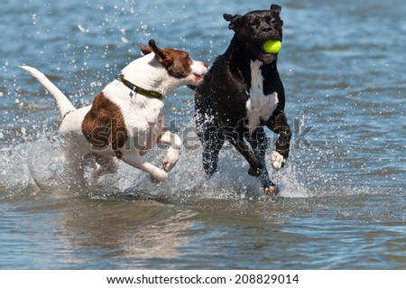 White dog with brown spots chasing black dog holding a ball in the water