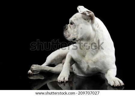 White dog with funny ears relaxing in a black studio