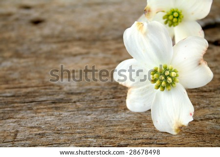 White Dogwood bloom shot on an old piece of wood.  Copy space available. - stock photo