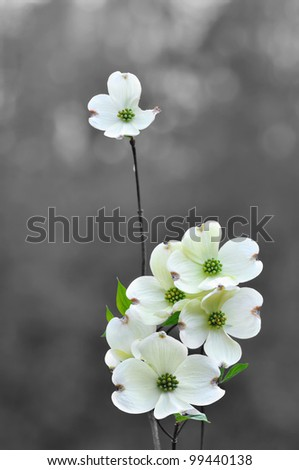 White dogwood flowers in spring - stock photo