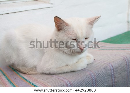 White domestic cat