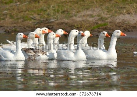 White domestic geese - stock photo
