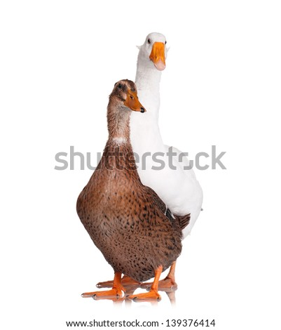 White domestic goose and duck - stock photo
