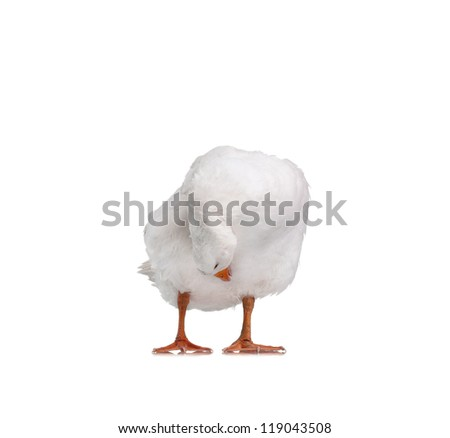 White domestic goose isolated on white background - stock photo
