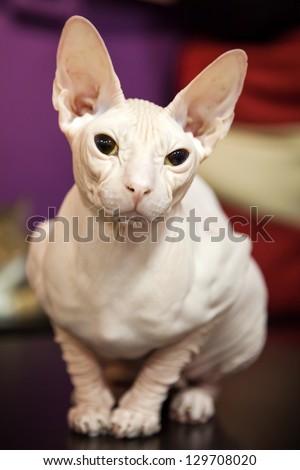 White Don Sphinx cat closeup portrait - stock photo