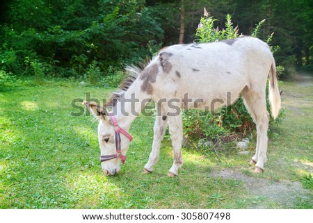 white donkey grazing in the meadow - stock photo