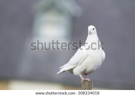 White Dove - stock photo