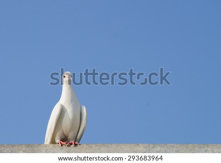 White Dove against the sky for your design. - stock photo