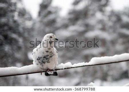 White dove against winter background - stock photo