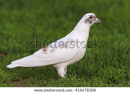 White Dove, among the green grass, racing pigeons, bred bird - stock photo