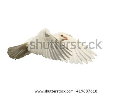 White dove fly with the wind isolated on white,mail white dove flying bird, a symbol of hope, a symbol of peace, biblical history - stock photo
