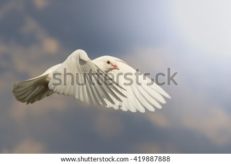 White dove fly with the wind with sunny hotspot,mail white dove flying bird, a symbol of hope, a symbol of peace, biblical history - stock photo