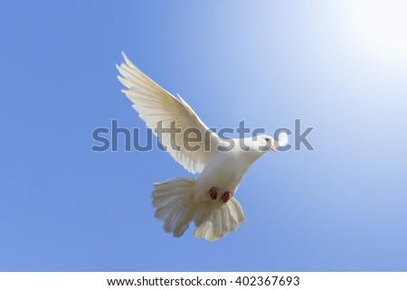 White Dove Flying On Background Blue Stock Photo Royalty Free