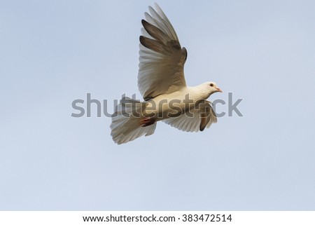 white dove flying on a background of gray sky - stock photo